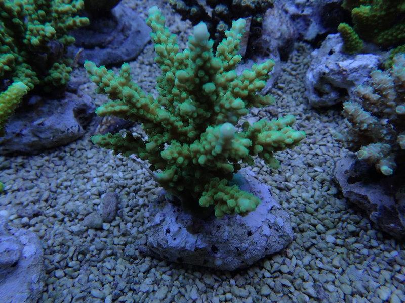 養殖サンゴも侮れません