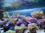 オーバーフロー水槽内でミドリイシが成長!コーラルラボオリジナル水槽の凄さは水槽内の生体たちが実証中!
